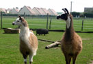 photo des lamas du parc Edentara